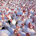 Sell turkeys (Turkey), potroshenyh poults