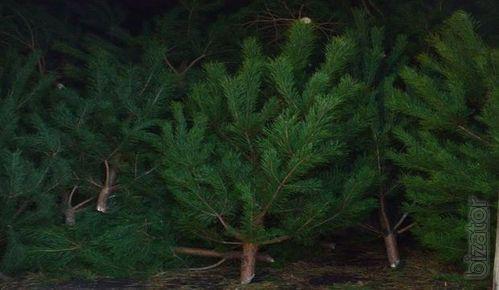 Buy fresh live Christmas tree pine