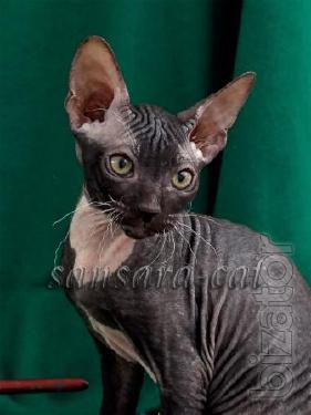 Don Sphynx. Sale of hairless cats.