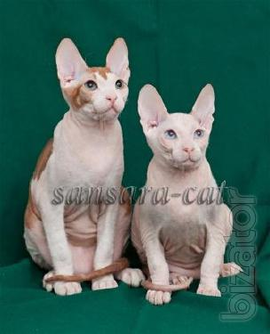 Gorgeous cats. Don Sphynx. Sale.