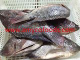 Frozen tilapia GS good quality good price