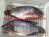 Frozen black tilapia gutted and scaled origin China