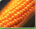 Кукуруза фуражная - кукуруза фуражная отличного качества