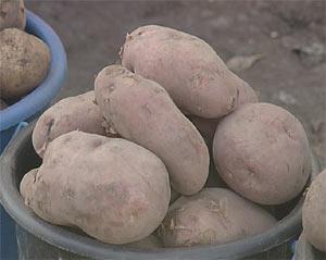 Продам Картофель в Хакасии