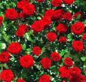 Цветы, декоративные растения и кустарники на сезон ВЕСНА-ОСЕНЬ 2013-2014 - Цветы
