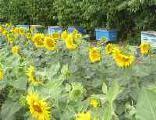 Семена подсолнечника Форвард 1-я фракция. Купить семена подсолнечника в Черкасса