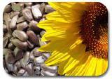 Семена подсолнечника Ранок 1-я фракция. Купить семена подсолнечника в Черкассах.