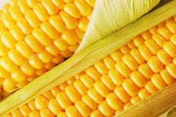 Семена кукурузы Кадр 267 МВ. Купить семена кукурузы в Запорожье.