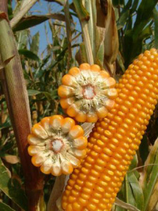 Семена кукурузы Розовский 311 СВ. Купить семена кукурузы в Черкассах.