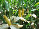 Семена кукурузы Вымпел МВ. Купить семена кукурузы в Черкассах.